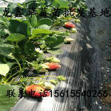 优质的草莓苗新品种每日报价图片