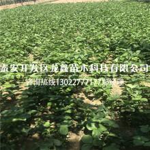 优质的草莓苗新品种推荐图片