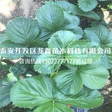 优质的草莓苗新品种调价汇总图片