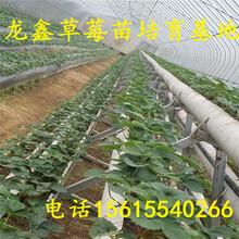 优质的草莓苗新品种招商图片