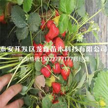 可信赖的草莓苗新品种供应图片