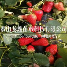 实惠的好吃的草莓苗生产厂家图片