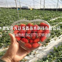 报价合理的99草莓苗资讯图片