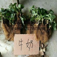 價格合理的小白草莓苗廠家價格圖片