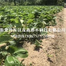 厂家供应小白草莓苗的价格图片