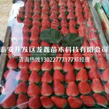 口碑好的小白草莓苗招商图片