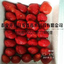 價格劃算的99草莓苗廠家圖片