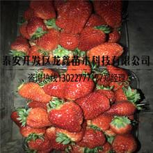 供应红颜草莓苗招商图片