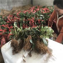 专业的大棚草莓苗经销商图片