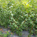 哪里有賣的法蘭西梅李子樹苗法蘭西梅李子樹苗批發