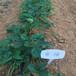 秋季出售蒙特瑞草莓苗繁育基地