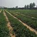 哪里有蒙特瑞草莓苗蒙特瑞草莓苗多少钱一株