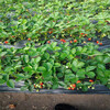 9月达赛草莓苗基地