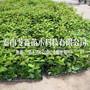 附近3年矮化大樱桃树苗批发什么价格图片