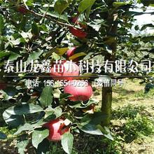 烟富3号苹果树苗2019年哪里有、烟富3号苹果树苗哪里有种植的图片