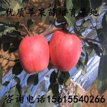 烟富3号苹果树苗优质哪里有、烟富3号苹果树苗哪里有供应基地图片