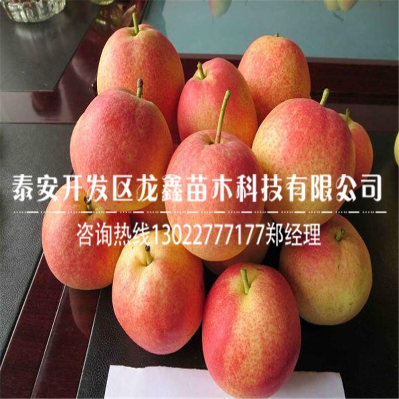 【新品种秋月梨树苗简介】- 黄页88网