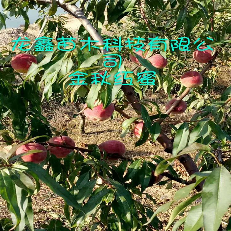 优质秋丽桃树苗价格、秋丽桃树苗价钱低