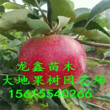 烟富3号苹果树苗新品种哪里有、烟富3号苹果树苗哪里有种植的图片