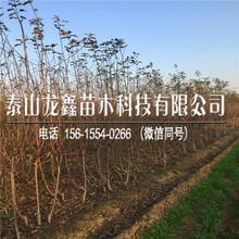 烟富3号苹果树苗新品种哪里有、烟富3号苹果树苗哪里有出售厂家图片