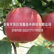 1公分黑苹果树苗山东哪里有、1公分黑苹果树苗哪里有基地图片