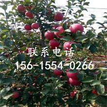 烟富3号苹果树苗优质哪里有、烟富3号苹果树苗哪里有培育的图片
