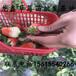 小白草莓苗出售、