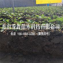 小白草莓苗今年價格趨勢、圖片