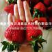 法兰地草莓苗、法兰地草莓苗基地价格