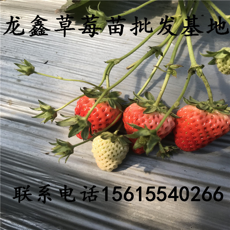 组培九九草莓苗基地、九九草莓苗销售基地