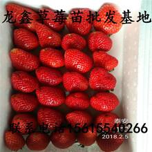 批发圣德草莓苗价格、圣德草莓苗今日价格图片