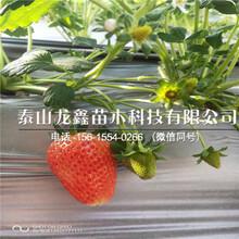 脱毒宁玉草莓苗价格、宁玉草莓苗批发价格图片