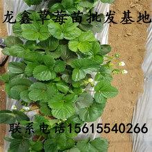 山東九香草莓苗簡介、九香草莓苗簡介圖片