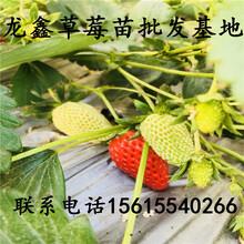今年太空2008草莓苗哪里批发、太空2008草莓苗哪里批发图片