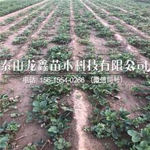 出售天仙醉草莓苗出售多少钱、天仙醉草莓苗出售多少钱图片