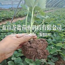 购买小白草莓苗批发价格多少、小白草莓苗批发价格多少图片