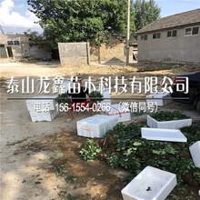 种植太空草莓苗哪里有卖的图片
