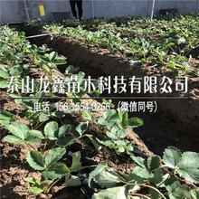 购买隋株草莓苗价钱低、隋株草莓苗价钱低图片