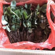 种植艳丽草莓苗价格、艳丽草莓苗价格图片