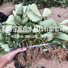 种植妙香草莓苗出售基地、妙香草莓苗出售基地图片