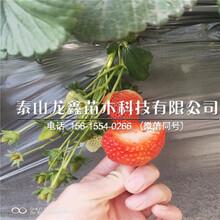 今年法兰地草莓苗价格、法兰地草莓苗厂家价格图片