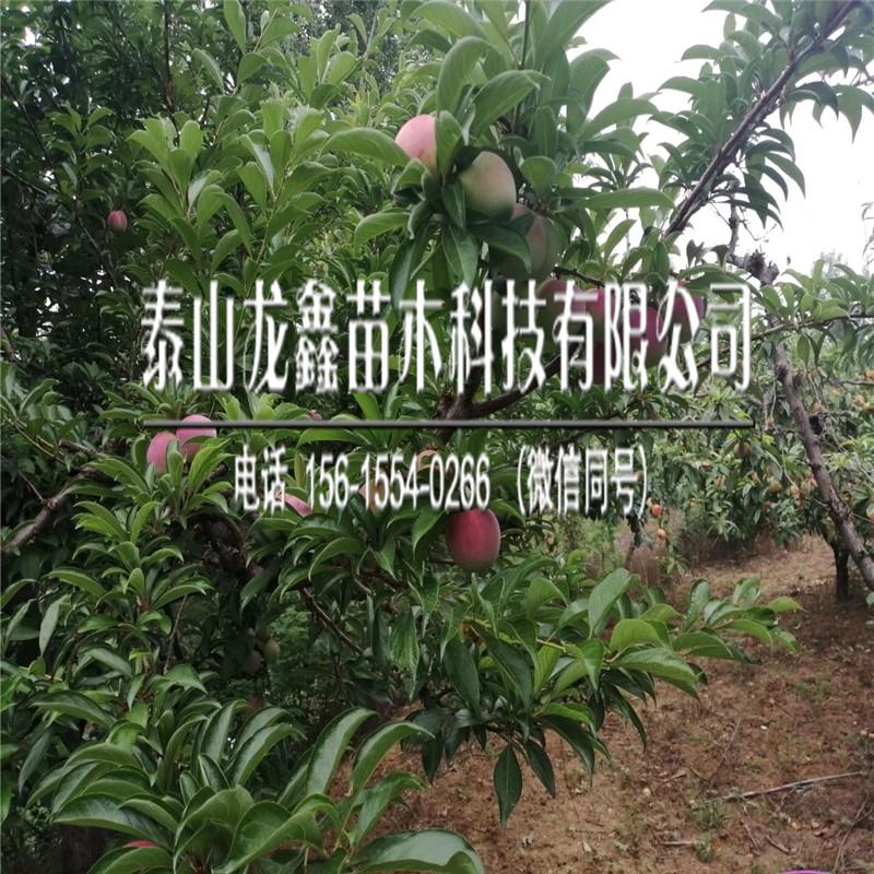 3公分李子树苗怎么种、3公分李子树苗今年价格行情