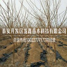 西梅皇后李子树苗产量多少、西梅皇后李子树苗今天价格图片