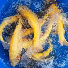 虹鳟金鳟鱼苗养殖基地鲜活水产整鱼全国供应