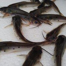 天贵水产供应叉尾鮰鱼苗叉尾鱼苗斑点叉尾鮰鱼苗