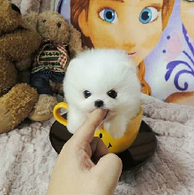 广东大型专业犬舍直销博美小体萌犬,健康纯种