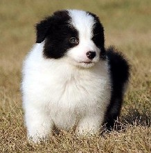 广州哪里可以买到纯种边境牧羊犬大型专业犬舍出售边牧