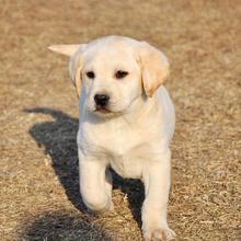 广州哪里可以买到纯种拉布拉多拉布拉多犬大型专业犬舍出售