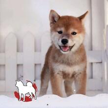 广州大型犬舍,纯种柴犬出售日系柴犬多只,公母都有