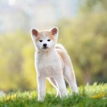 广州哪里可以买到纯种秋田,大型犬舍直销纯种血统秋田犬